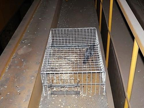 尼崎市の運送会社の倉庫でのハト捕獲駆除