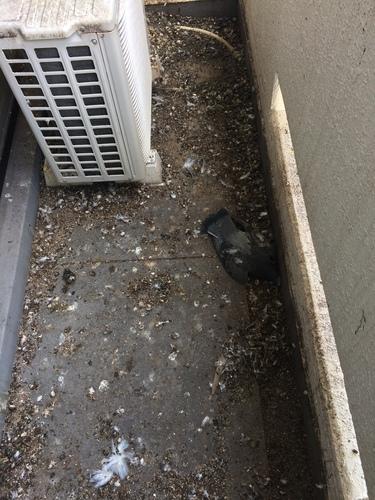 神戸市須磨区のマンション ネット張りと糞掃除