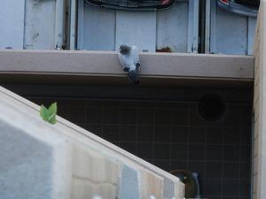神戸市西区のマンションでのハト対策工事