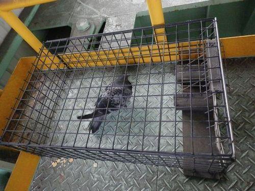 兵庫県播磨町の工場でのはと駆除