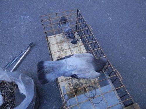明石市にある工場でのハト駆除作業