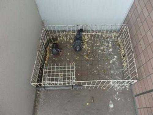ハト害 加古川市の会社寮、社宅でのハト対策工事です。