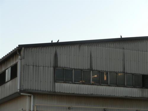 ハト害 稲美町の工場より鳩駆除のご依頼いただきました。