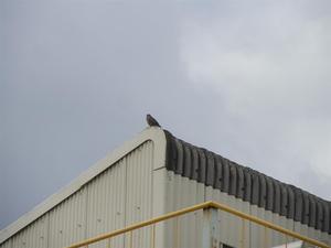 ハト害 加古川市にある会社からの工場内のはと駆除のご依頼です。