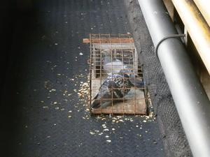 ハト害 稲美町でご依頼いただいておりました工場内に入った鳩の駆除工事が終了致しました。