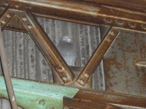 明石の工場でご依頼いただいておりましたハトの捕獲です、 こちらの工場は10何年ぶりのご依頼です。