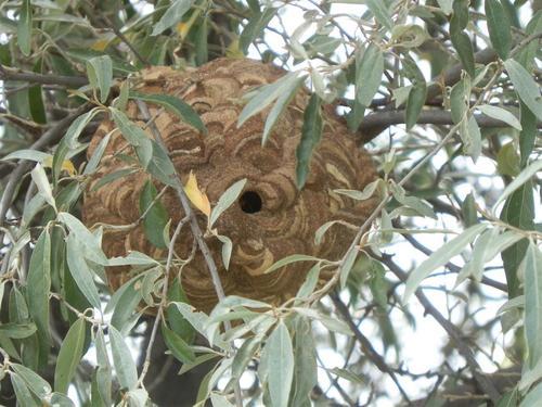 播磨町のお客様の工場にスズメバチの巣が出来たので駆除のご依頼が来ました。