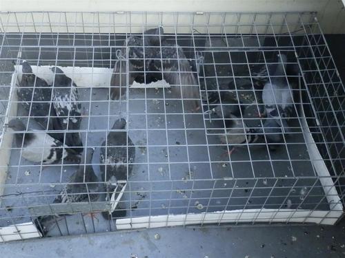 先日久しぶりに捕獲工事させていただきました明石市内の工場で別棟の外の庇の下に多数のハトが住みついているとのことで伺いました。
