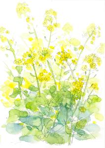013_ 菜の花