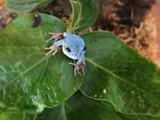 幸運の青いカエルイメージ